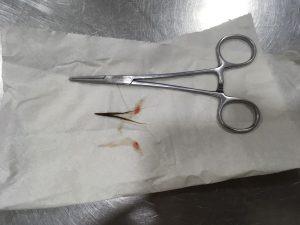 espiguilla extraida a un perro con anestesia